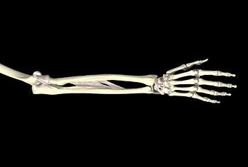 кости предплечья и кисти